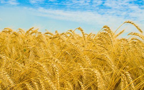 gold-wheat-summer-field-227979